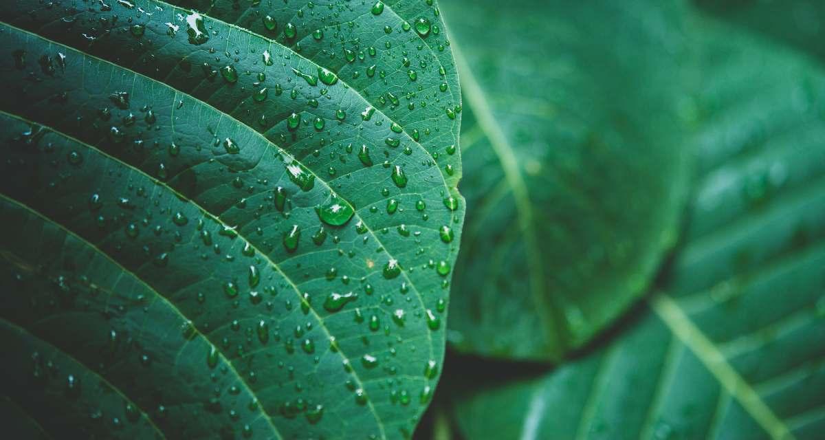 Caruru planta - Para que sirve y como usar 1