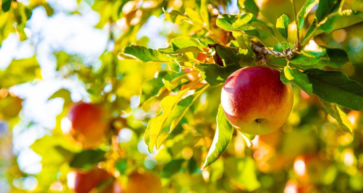 Cómo plantar manzana en casa - Paso a paso y cuidados 1