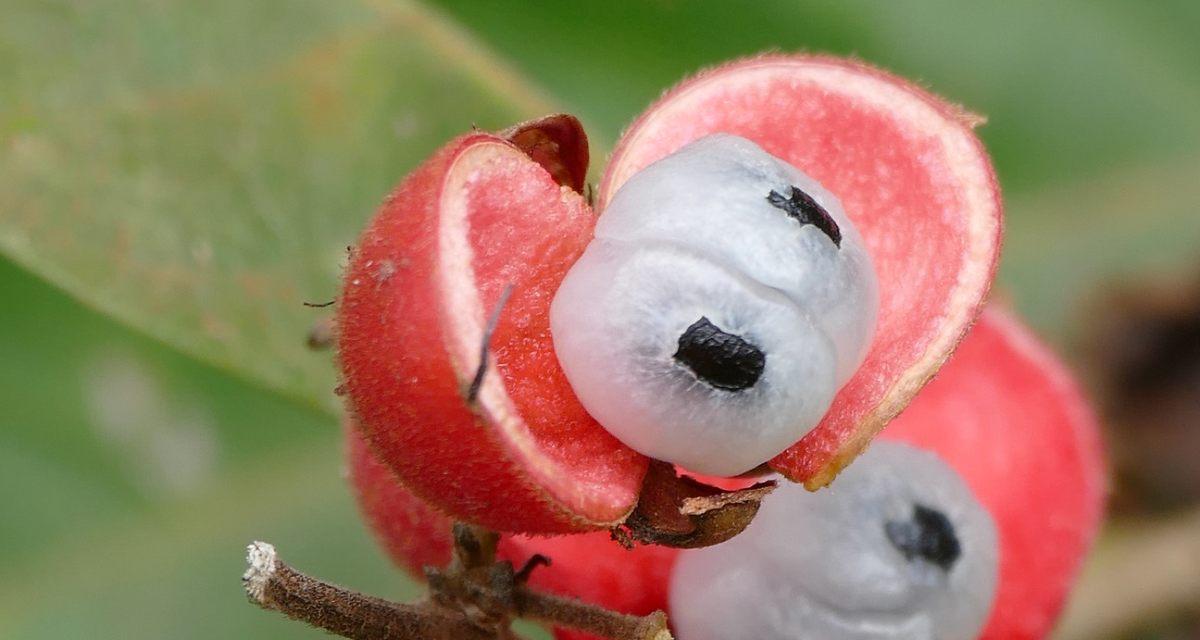 Beneficios del guaraná en polvo: para qué sirve y propiedades 1