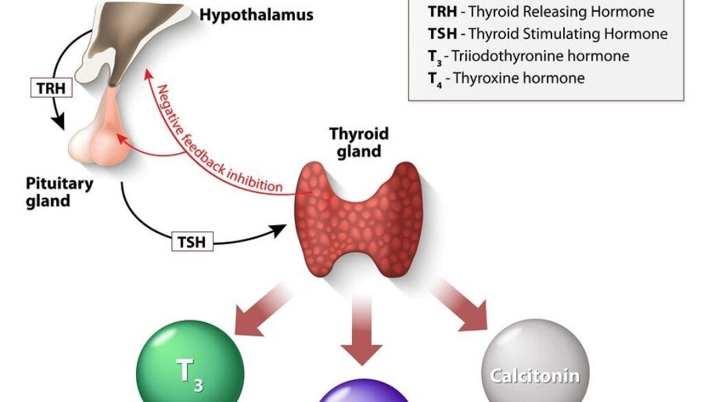 1614412948_bigstock-Thyroid-Hormones-100655612-min.jpg
