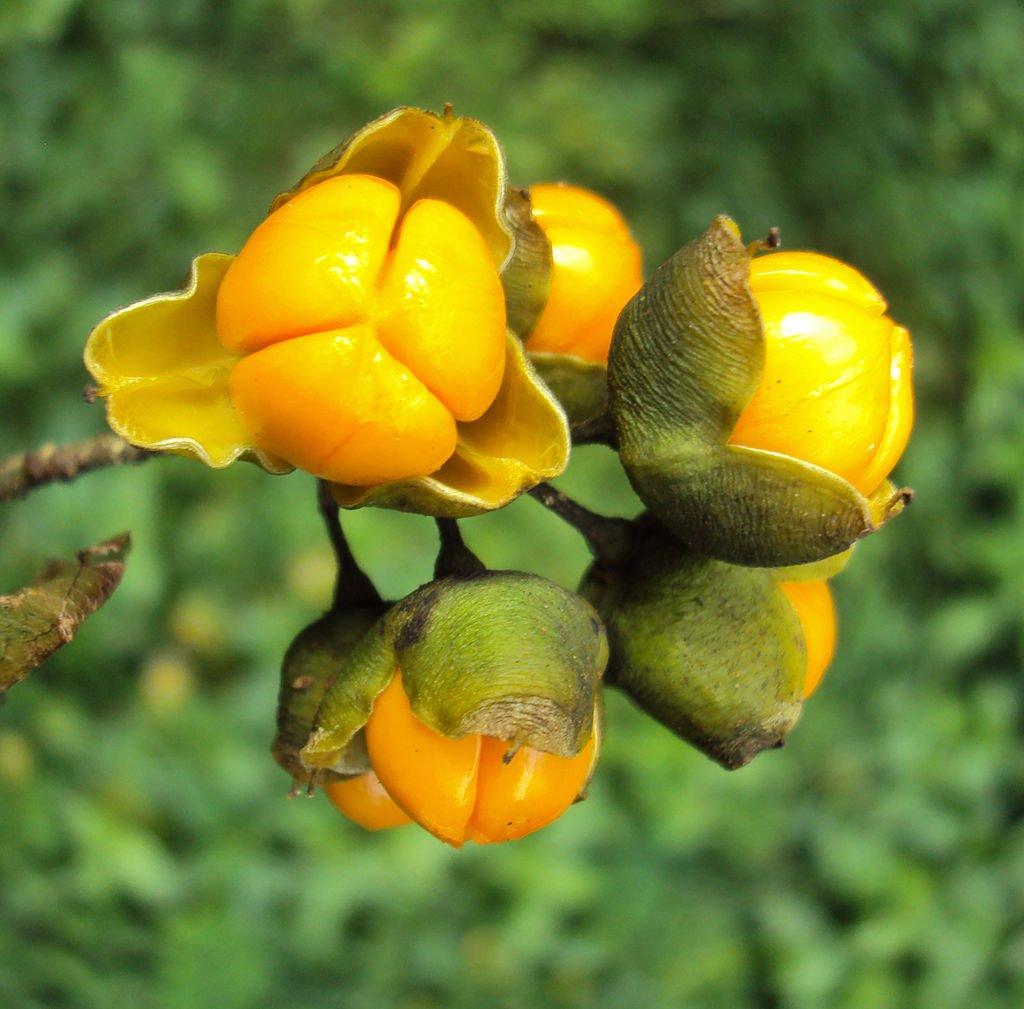 7 usos de Celastrus Paniculatus + Efectos secundarios y distribución 1