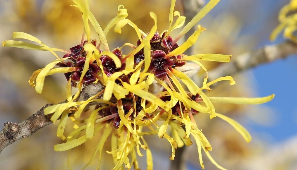 bigstock-Blooming-Witch-Hazel-In-Februa-72286354-min-1.jpg