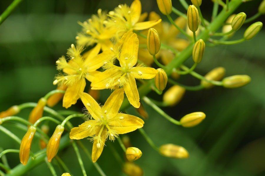 Beneficios de Bulbine Natalensis, efectos secundarios y reseñas 3