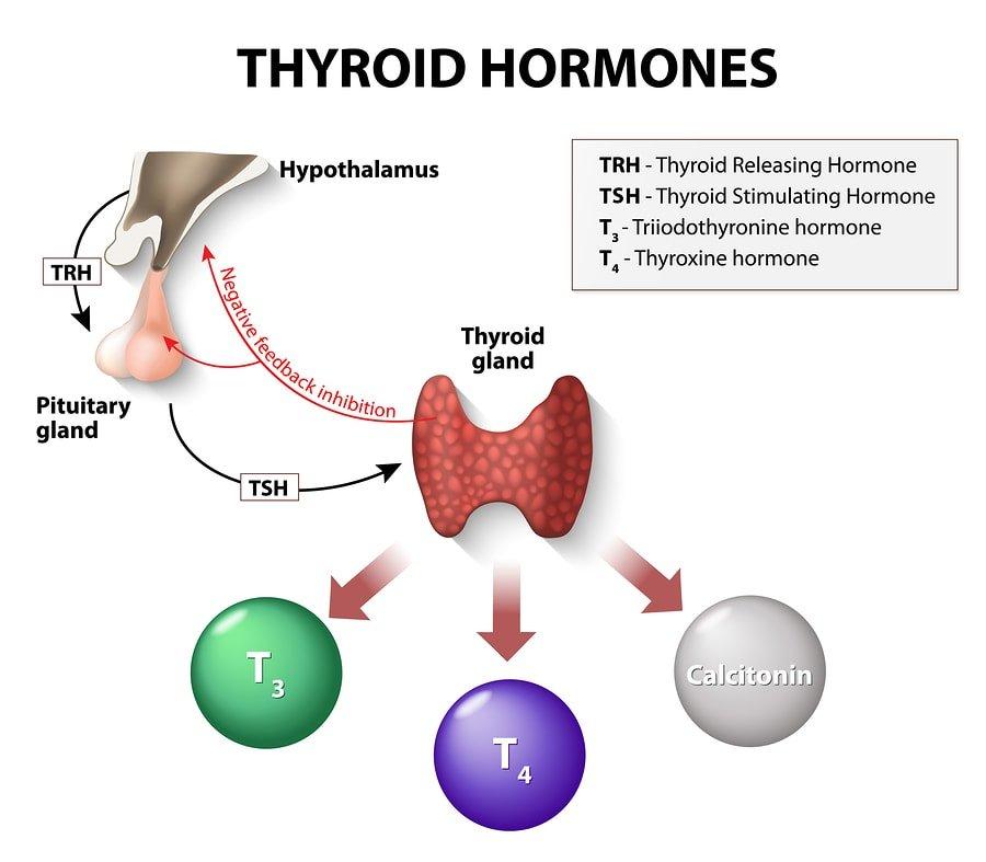 Funciones y regulación de las hormonas liberadoras de tirotropina (TRH) 1