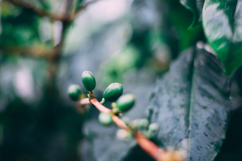 6 beneficios para la salud del extracto de semilla de Griffonia Simplicifolia 1