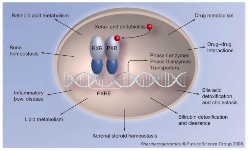 Receptor de Pregnane X (PXR): suprarrenales, cetosis y efectos secundarios 1