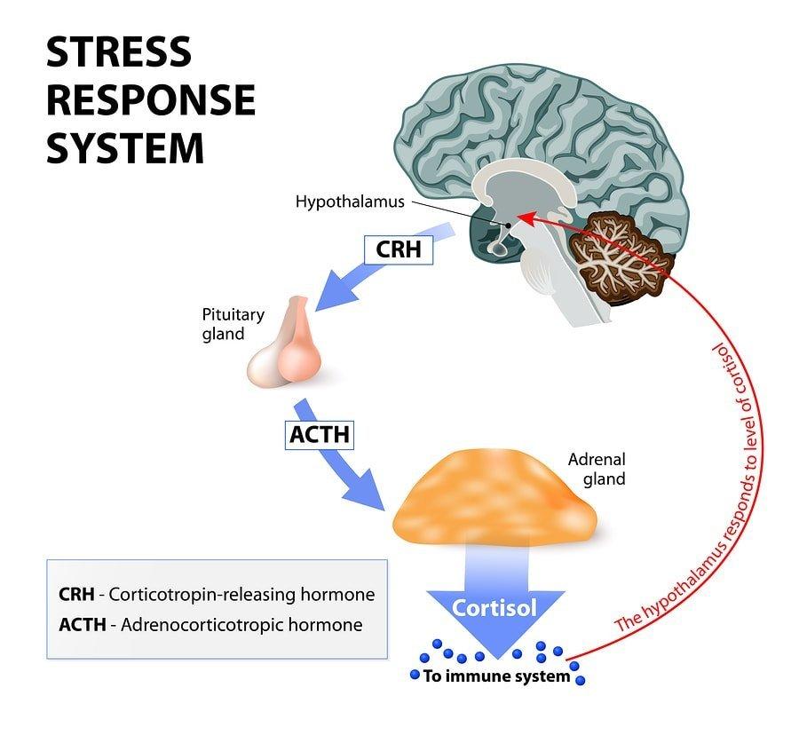 Enzima, fertilidad y estrés CYP21A2 2