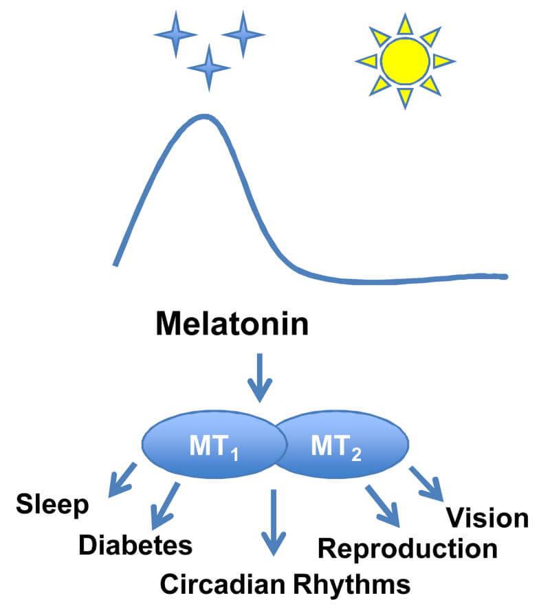Factores que aumentan / disminuyen los niveles de melatonina + sinergias 1